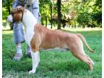 AMSTAFF Toky (Ataxia Clear)