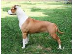 AMSTAFF Sun/Fergie  (Ataxia Clear By Parental)