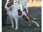AMSTAFF Pepper (Ataxia Clear)