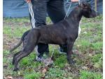 AMSTAFF Jacqueline (Ataxia Clear by Parental)