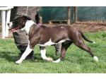 AMSTAFF Sophie (Ataxia Clear By Parental)