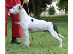 AMSTAFF Maggie (Ataxia Clear by Parental)