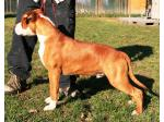 AMSTAFF Manny (Ataxia Carrier)