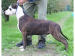 AMSTAFF Biff (Ataxia Clear By Parental)