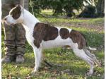 AMSTAFF Main (Ataxia Carrier)