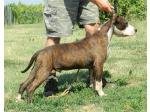 AMSTAFF Dago (Ataxia Clear By Parental)