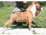 AMSTAFF Chico (Ataxia Clear By Parental)
