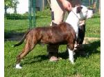 AMSTAFF Argo (Ataxia Clear By Parental)