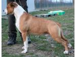 AMSTAFF Tommy (Ataxia Carrier)