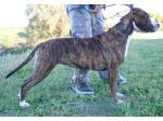 AMSTAFF Schiva (Ataxia Carrier)
