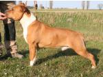 AMSTAFF Chimay (Ataxia Clear by Parental) HD-A ED-0