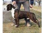 AMSTAFF Bronx (ataxia Clear by Parental)