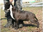 AMSTAFF Thor (Ataxia Carrier)