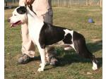 AMSTAFF Sioux (Ataxia Clear By Parental)